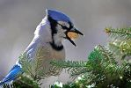 Blue Jay got its treat by MichelLalonde
