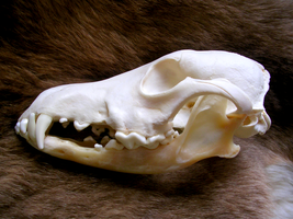Coyote Skull by FossilFeather