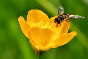Hover fly by SmartyPhoto