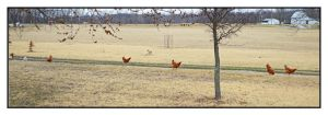 Chickens on the march.800 0145,with story by harrietsfriend