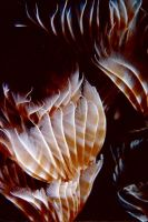 Feather Duster Worm 11 by Art-Photo