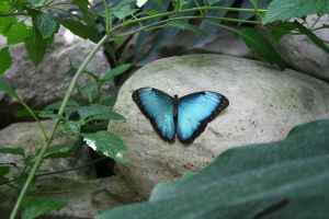 Morpho peleides by LadyLyonnesse