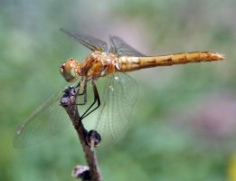DRAGONFLY by SunStar1111