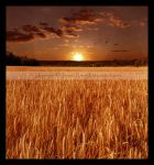 Sunset at the Wheat Field by Jenna-Rose
