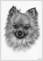Molly the pomeranian by Zindy