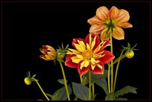 DAHLIAS by THOM-B-FOTO