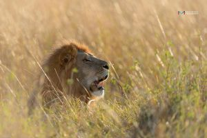 The Lion King by vinayan