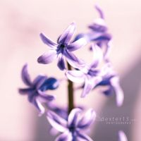 Hyacinth by dexter13-sk