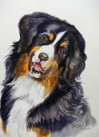 Bernese Mountain Dog by HouseofChabrier