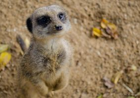 Compare The Meerkat by lens-boy