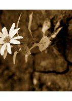 The thirst - sepia version by ioannicolae