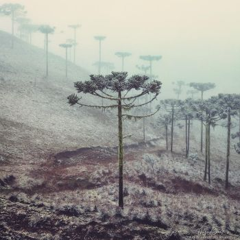 Winter Araucaria by Miguel-Santos