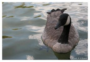 Canadian Goose by almightyblah