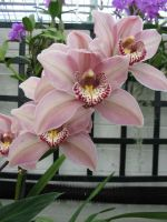 more pink orchids3 by Jezhawk-stock