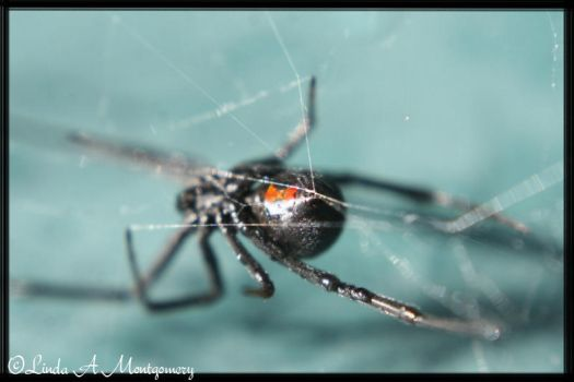 The Black Widow by in2photography