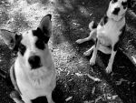 Black and White dogs by kingkorky