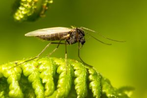 Male mosquito by akadime