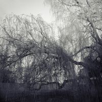 Weeping Willow by idealclassic