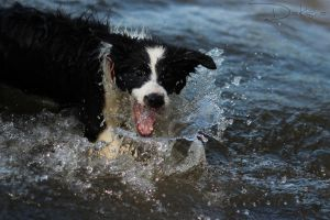 Border Collie Aska by DaKsha1