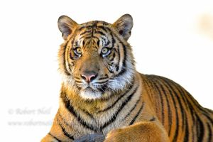 Tiger cub by robertneil64