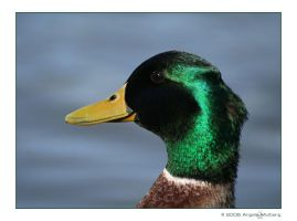 ducky s m i l e by Astraea-photography