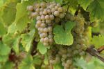 Vineyard Stock 25 by Malleni-Stock