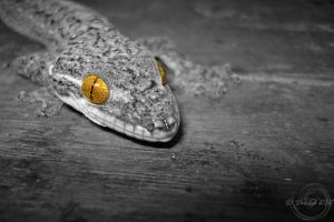 Gecko in b-w by Mallophora