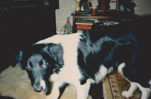 Cleo the collie by WhippetWild