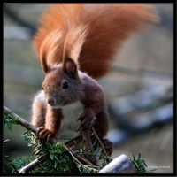 Eurasian Red Squirrel by Haufschild