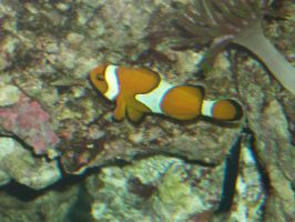 Little clown fish by Nefixion