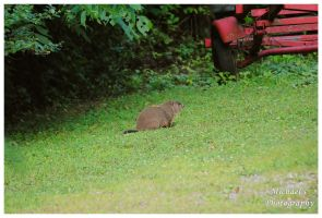 A Young Groundhog by TheMan268