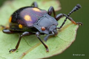 Endomychid, Handsome fungus beetle by melvynyeo