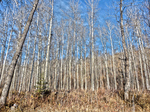 The Aspen Forest HDR by Sybaristail