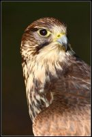 Female Merlin Portrait by nitsch