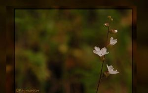 Tiny White flower wallpaper by kayaksailor