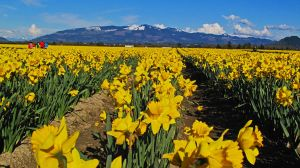 Fields of Daffodils by KRHPhotography
