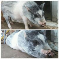 What It's Like to Live With a Pig by WolfyEmmerichXII