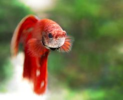 betta splendens by mayoofka