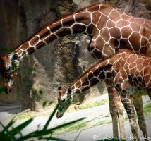Father and Baby Giraffe by EuphoricPhotographs