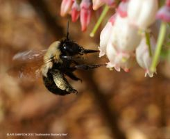 Southeastern Blueberry Bee by Psithyrus