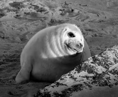 ...Peter Lorre reborn as a grey seal... by Coigach