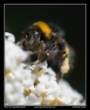 Bee On A Buddleia Bush by pyrascape