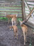 Curious Fawns 7a by Windthin