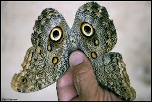 Owl Butterfly by fayerman