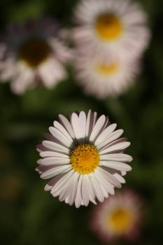 Daisy I by darkcalypso-stock