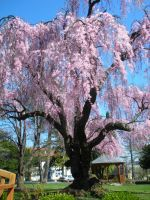 Cherry Tree 1 by Rose-Vicious