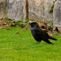 Abbey Jackdaw... by quaddie