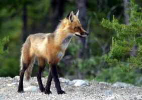 Red fox by Mika3B