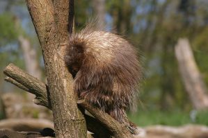 Canadian porcupine II by expression-stock