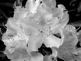 Rhododendron 2 by AgonizingSwordfish